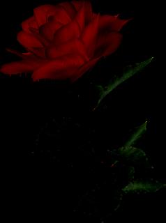 Tube rose!